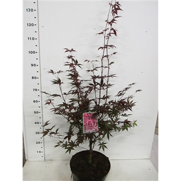 Acer palm. Red Emperor 100-125 P32