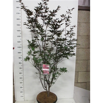 Acer palm. Red Emperor 125-150 P34