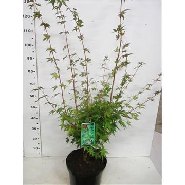 Acer palm. Sangokaku 80-100 P28