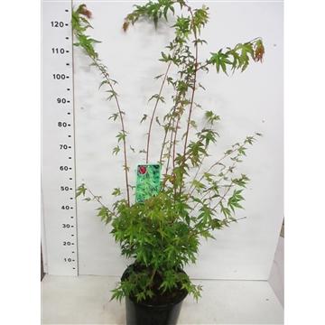 Acer palm. Sangokaku 100-125 P30