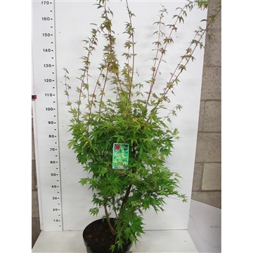 Acer palm. Sangokaku 125-150 P32