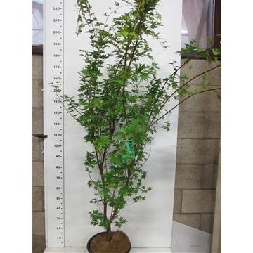 Acer palm. Sangokaku 150-175 P34