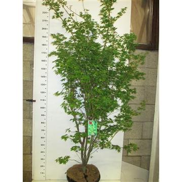 Acer palm. Sangokaku 175-200 P38