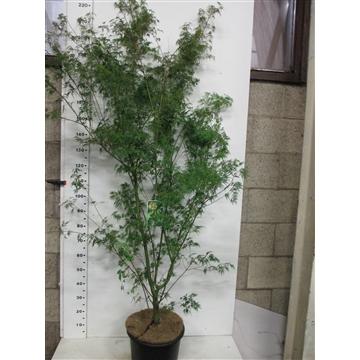 Acer palm. Seiryu 150-175 P34