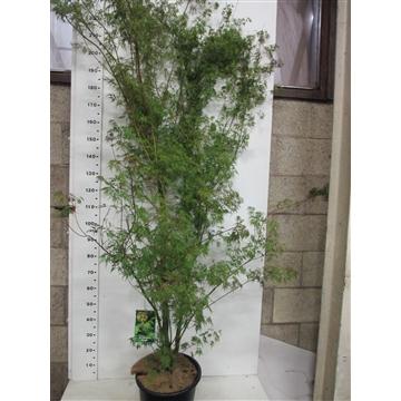 Acer palm. Seiryu 175-200 P38