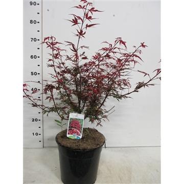 Acer palm. Shaina 40-50 P28