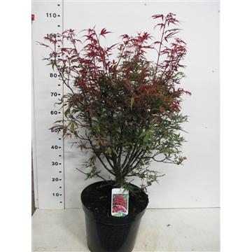 Acer palm. Shaina 60-70 P32