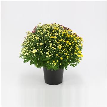 Chrysanthemum trio p19