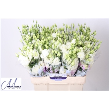 Lisianthus Alissa white 60 cm