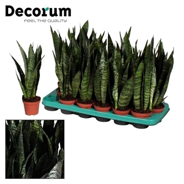 Sansevieria Black Coral (Decorum)