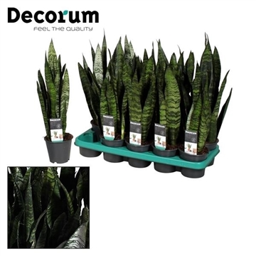 Sansevieria Black Coral (8+ blad) (Decorum)