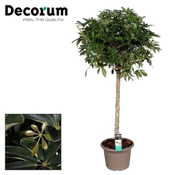 Schefflera Nora rechte stam (Decorum)