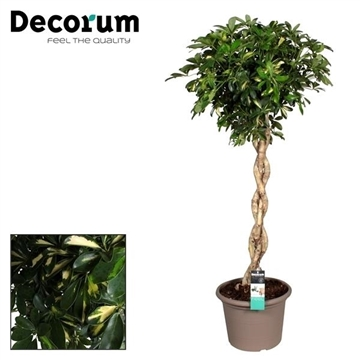 Schefflera Gold Capella zware vlecht stam in deco pot (Decorum)