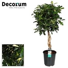Schefflera Gold Capella zware vlecht stam (Decorum)