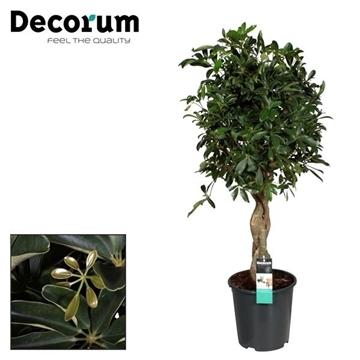 Schefflera Compacta Nora zware vlecht stam (Decorum)