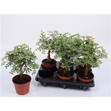 Pistacia lentiscus bush