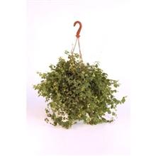 "Ficus repens ""colgar / Hang"""