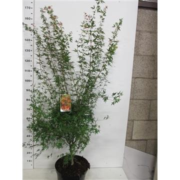 Acer palm. Wilson's Pink Dwarf 125-150 P32