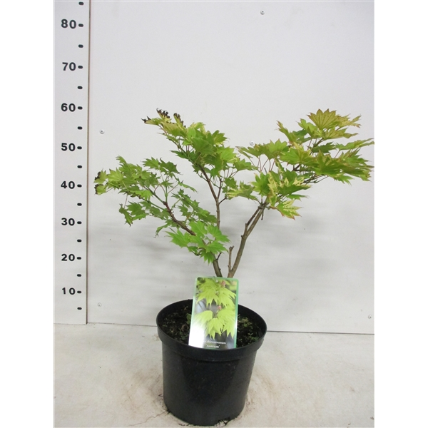 Acer Shirasawanum Aureum 30 40 P23 Acaurp23 Floraxchange