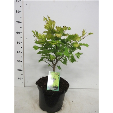 Acer shirasawanum Aureum 40-50 P26
