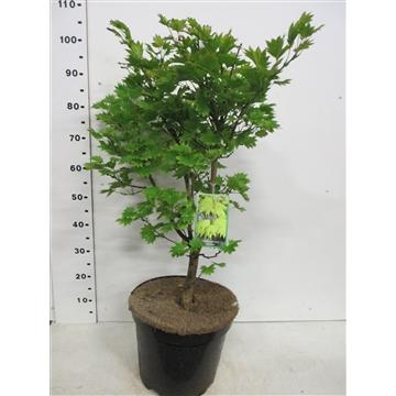 Acer shirasawanum Aureum 60-80 P30