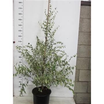 Betula nigra Shiloh Splash 125-150 P34