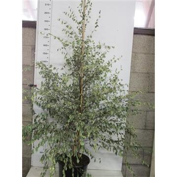 Betula nigra Shiloh Splash 150-175 P38