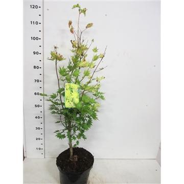 Acer shirasawanum Jordan 60-80 P26