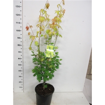Acer shirasawanum Jordan 80-100 P28