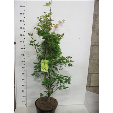 Acer shirasawanum Jordan 100-125 P30