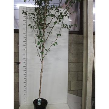Betula u. Jacquemontii 200/+ P32