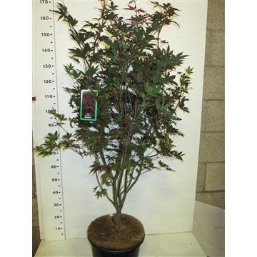 Acer palm. Bloodgood 175-200 P38