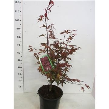 Acer palm. Atropurpureum 60-80 P26
