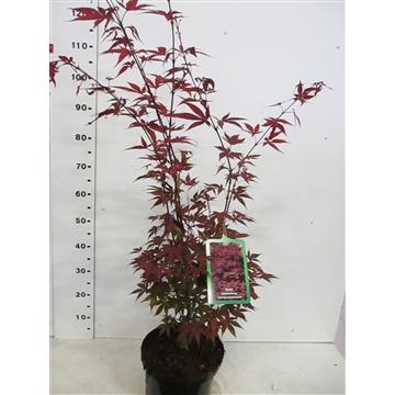 Acer palm. Atropurpureum 80-100 P28