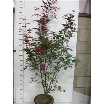 Acer palm. Atropurpureum 150-175 P34
