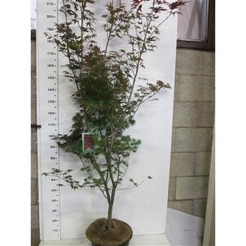 Acer palm. Atropurpureum 175-200 P38
