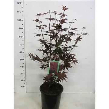 Acer palm. Bloodgood 60-80 P28