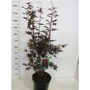 Acer palm. Bloodgood 80-100 P30