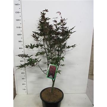 Acer palm. Bloodgood 125-150 P34