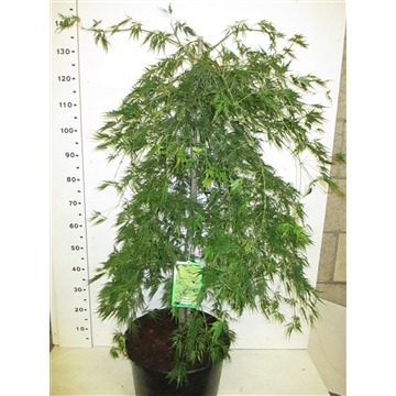 Acer palm. Dissectum 100-125 P34