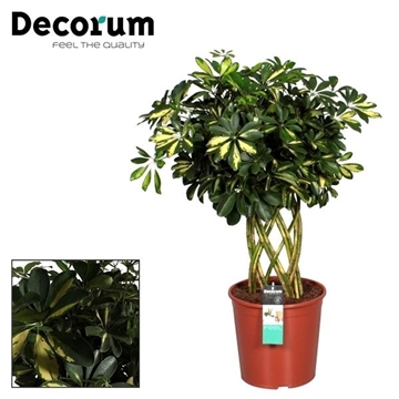 Schefflera Gold Capella Petate (Platte mat) (Decorum)
