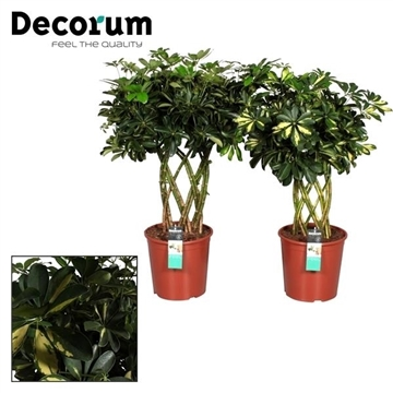 Schefflera Petate (Platte mat) mix (Gold Capella & Compacta) (Decorum)