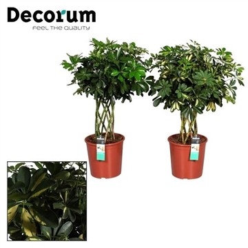 Schefflera koker mix (Gold Capella & Compacta) (Decorum)