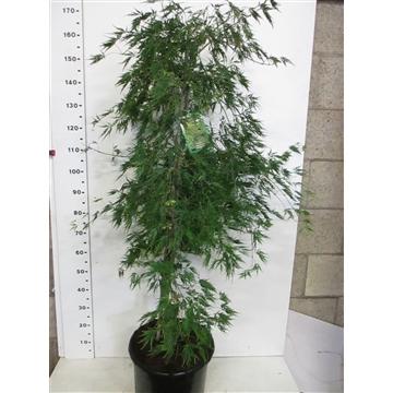 Acer palm. Dissectum 125-150 P38
