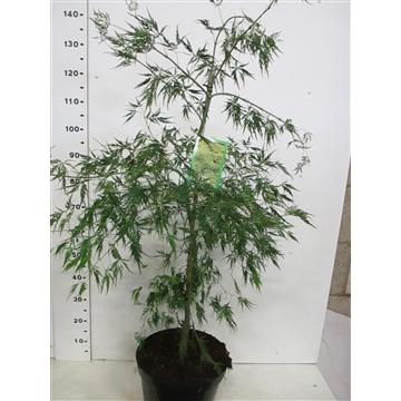 Acer palm. Dissectum 80-100 P32