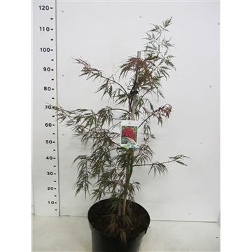 Acer palm. Garnet 60-80 P30