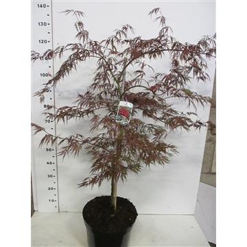 Acer palm. Garnet 80-100 P32