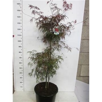 Acer palm. Garnet 100-125 P34