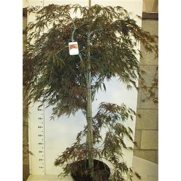 Acer palm. Garnet 125-150 P38