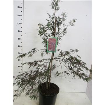 Acer palm. Inaba-shidare 50-60 P28